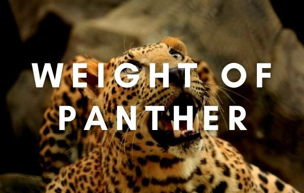 How Much doeas a panther weight